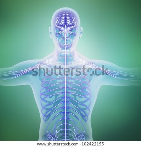Human anatomy illustration - central nervous system - stock photo