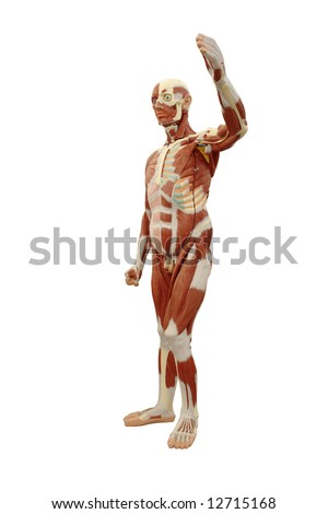 Human anatomy - male model showing muscle system isolated on white background - stock photo