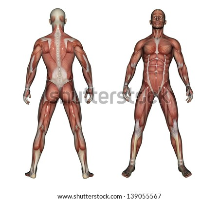 Human Anatomy Male Muscles Made 3d Stock Illustration 139055567