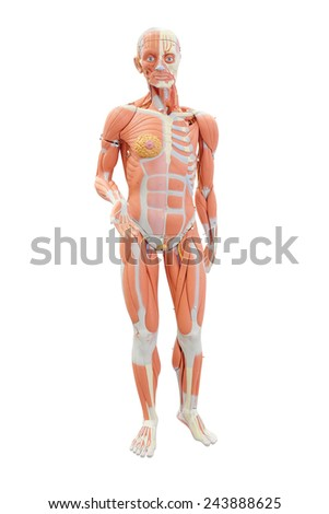 Human anatomy. Medical mannequin isolated under the white background