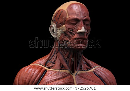 human anatomy muscle anatomy face neck stock illustration, Muscles