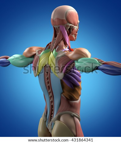 human anatomy muscle groups torso back stock illustration, Muscles