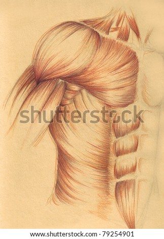 human anatomy - muscles breast and arm - stock photo