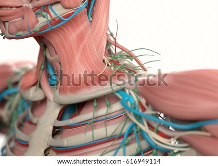 Collar bone anatomy diagram all kind of wiring diagrams human anatomy neck collar bone muscular stock illustration 616949114 rh shutterstock com ankle bone anatomy diagram hip bone anatomy diagram ccuart Images