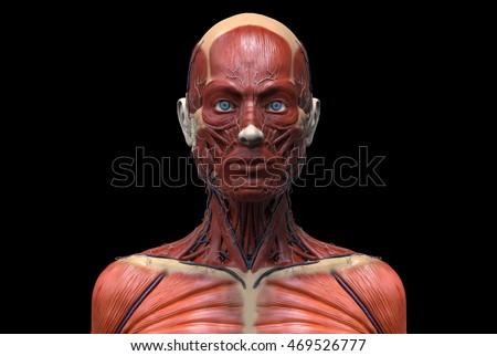 Human Anatomy Female Anatomy Head Neck Stock Illustration 469526777 ...