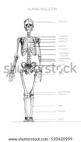 Human anatomy. Realistic detailed skeleton of a full-length