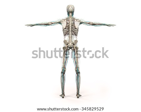 Human anatomy showing back full body, head, shoulders and torso, bone structure and vascular system on a plain white background. - stock photo