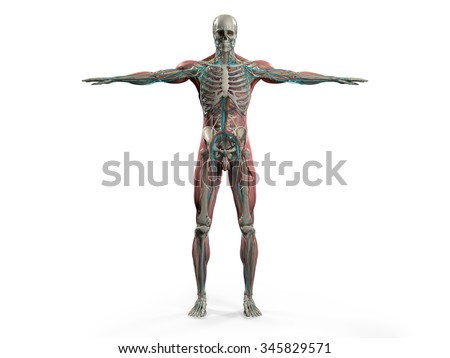 Human anatomy showing back full body, head, shoulders and torso, bone structure, muscular system and vascular system on a plain white background. - stock photo