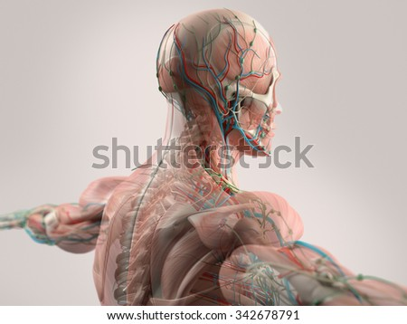 Human anatomy showing face, head, shoulders and back muscular system, bone structure and vascular system. - stock photo