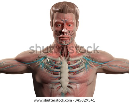Human anatomy showing head, shoulders and torso, bone structure, muscular system and vascular system on a plain white background. - stock photo