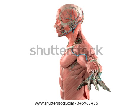 Human anatomy side view of head showing muscular and vascular system on plain white background.