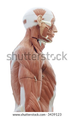 Human anatomy - structure of head and trunk muscles and tendons - stock photo