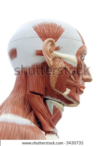 Human Anatomy Structure Head Muscles Tendons Stock Photo Royalty
