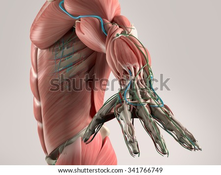 Human anatomy view of torso and arm showing muscular system and vascular system. - stock photo