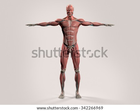 Human anatomy with front view of full body showing muscular system and vascular system on a stylish white background. - stock photo