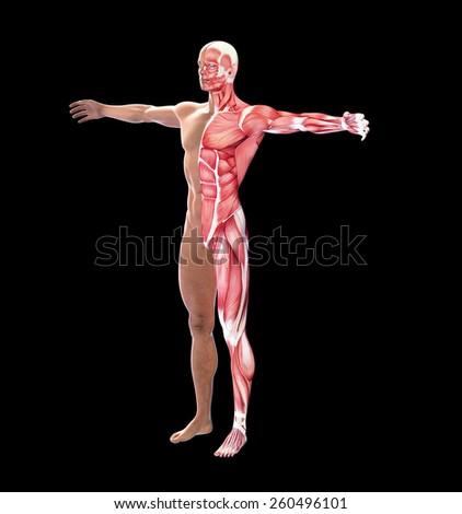 Human anatomy with visible  muscles - stock photo