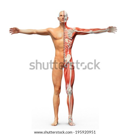 Human anatomy with visible skeleton and muscles - stock photo