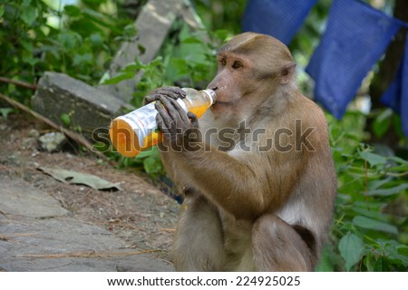 Human-animal interaction. Effect of man on wild animals. Clever Bonnet macaque (Macaca radiata) in Khatmandu, Sikkim, drinking mango juice from a plastic bottle - a funny unnatural behavior. - stock photo