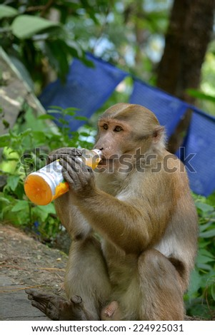 Human-animal interaction. Effect of man on wild animals. Clever Bonnet macaque (Macaca radiata) in Khatmandu, Sikkim, drinking mango juice from a plastic bottle - a funny unnatural animal behavior. - stock photo