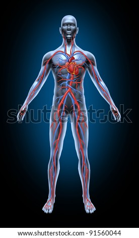 Human blood circulation in the cardiovascular System with heart anatomy from a healthy body isolated on black as a medical health care symbol of an inner organ as a medical chart for health education. - stock photo