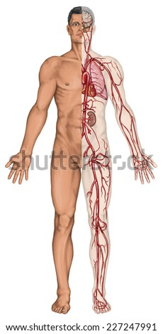 Human bloodstream - didactic board of anatomy of blood system of human circulation sanguine, cardiovascular, vascular and arterial system   - stock photo