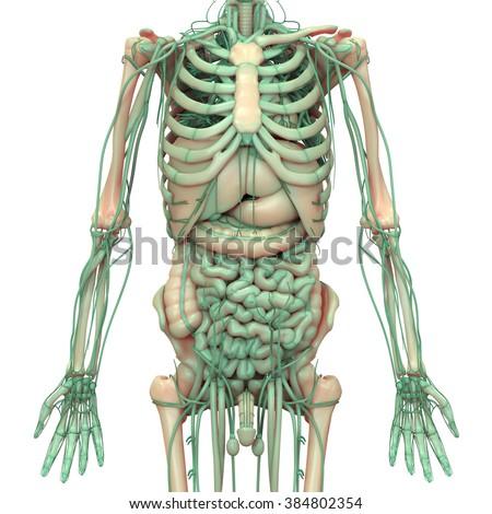 Human Body Anatomy Brain Lungs Heart Stock Illustration 384802354