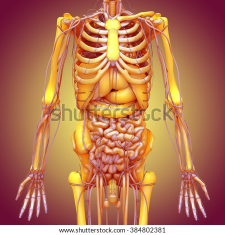 Human body anatomy brain lungs heart stock illustration 384802381 human body anatomy brain lungs heart nervous system liver stomach ccuart Image collections