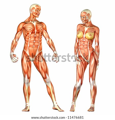 Human Body Anatomy Man Woman Stock Illustration 11476681 Shutterstock