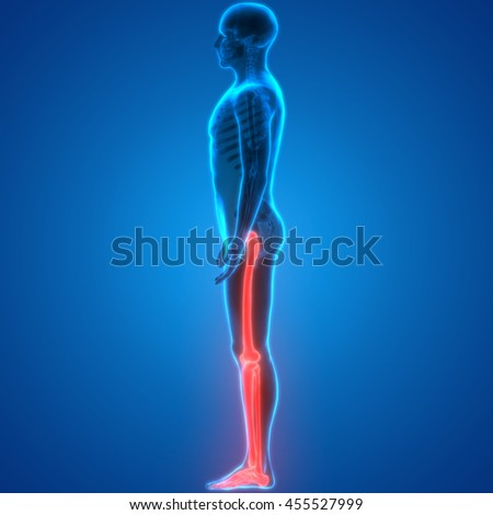 Human Body Bone Joint Pains (Leg Joints Anatomy). 3D - stock photo