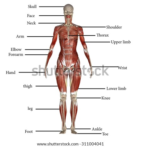 human body muscles stock illustration 311004041 - shutterstock, Muscles