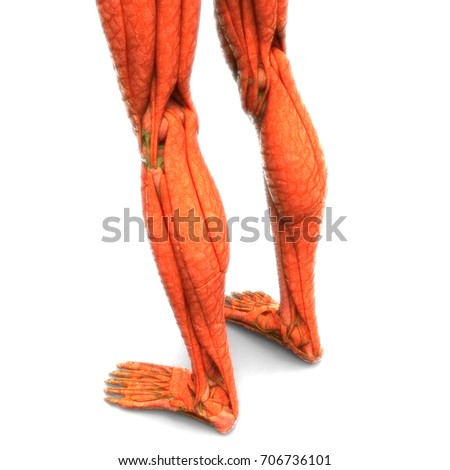Human Body Muscles Anatomy Legs 3d Stock Illustration 706736101