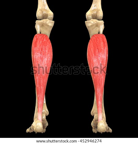 Human Body Muscles Anatomy Soleus 3 D Stock Illustration 452946274 ...