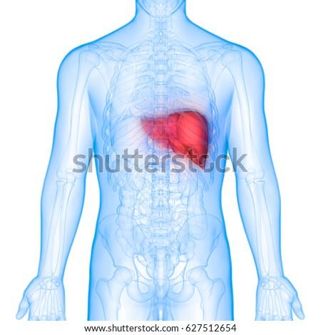 Human Body Organs Anatomy Liver Posterior Stock Illustration ...