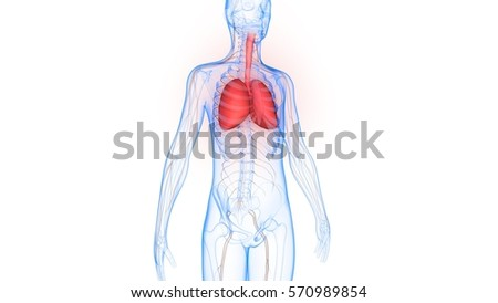 Human Body Organs Lungs Nervous System Stock Illustration 570989854 ...