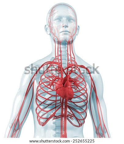 human body with heart and cardiovascular circulatory - stock photo