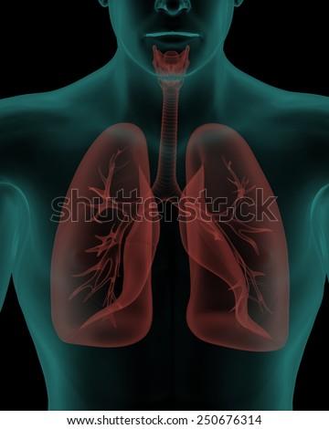 Human Body Respiratory System Internal Organs Stock Illustration ...