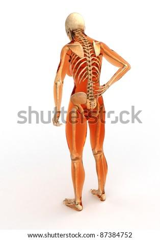 Human Body Skeleton Back View Stock Illustration 87384752 Shutterstock