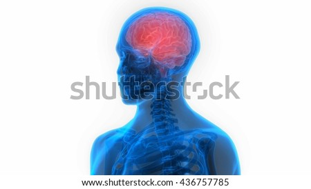 Human Brain Anatomy. 3D - stock photo