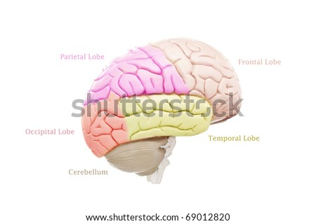 Human brain anatomy on white background - stock photo
