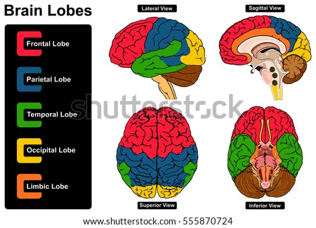Human Brain Anatomy Set Lateral Sagittal Stock Illustration