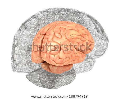 Human brain and 3D model - stock photo