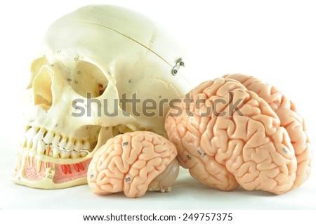 human brain and skull model - stock photo