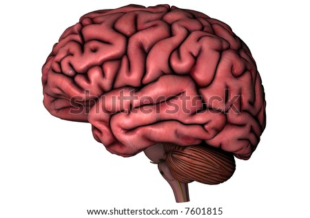 Human brain and spine lateral anatomical view 3D graphic on white background - stock photo