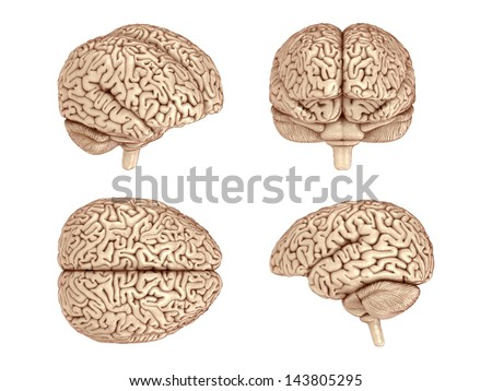 Human brain. 3d rendered. Isolated on white background. - stock photo