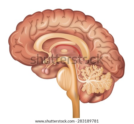 Human brain, detailed illustration. Beautiful colorful design, isolated on a white background. - stock photo