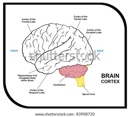 Simple human brain diagram