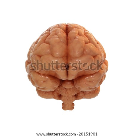 Human brain front view - stock photo