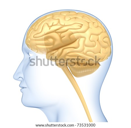 Human brain in the head. Side view. Isolated on white