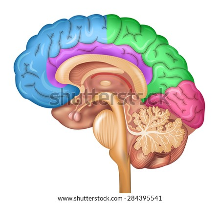 Human brain lobes, beautiful colorful illustration detailed anatomy. Sagittal view of the brain. Isolated on a white background. - stock photo