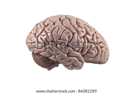 human brain model, isolated - stock photo